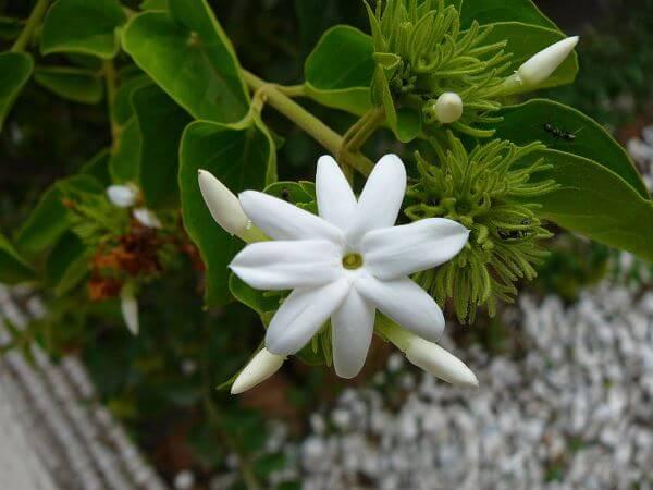Flor de jazmín PruebaTé