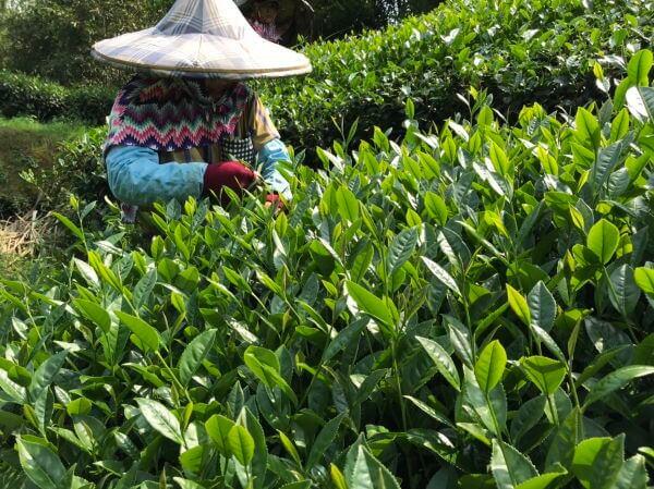 té verde pureza alishan cosecha
